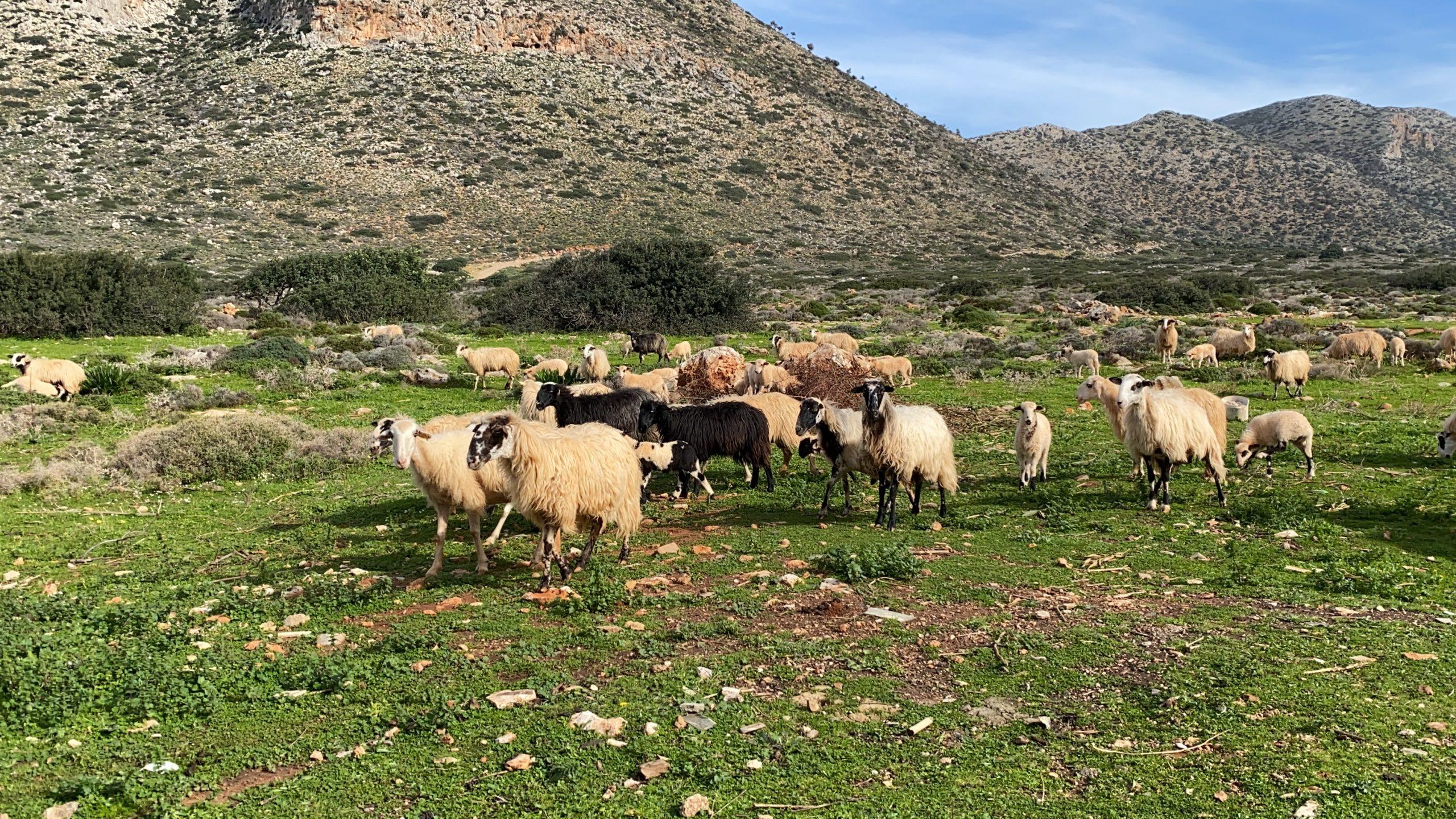 owce na Krecie